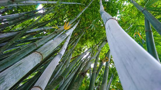 Bambu - Bamboo