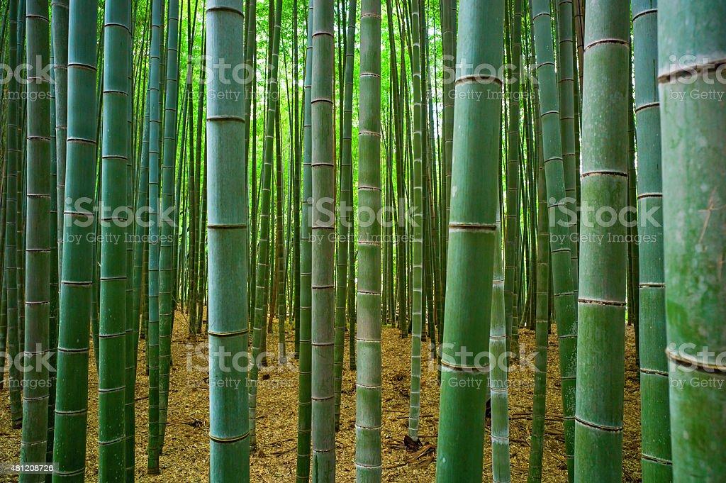 Bambu forest stock photo