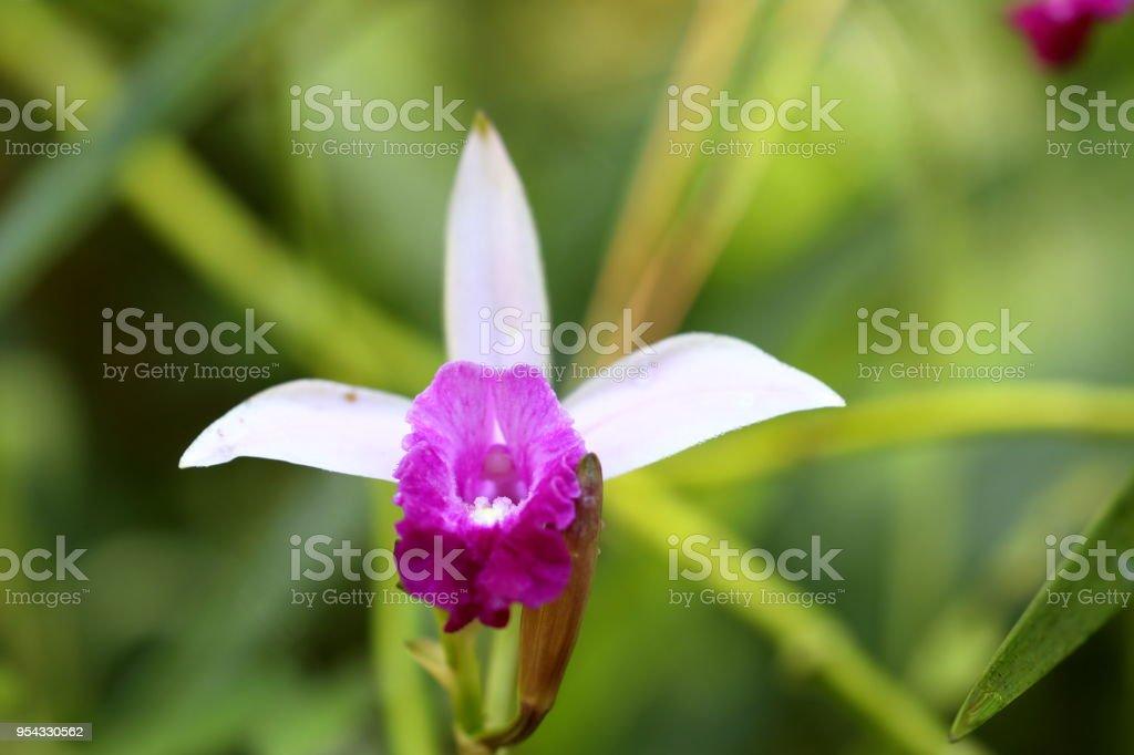 Bambus Orchidee Im Sinharaja Dschungel Von Sri Lanka Stock Photo