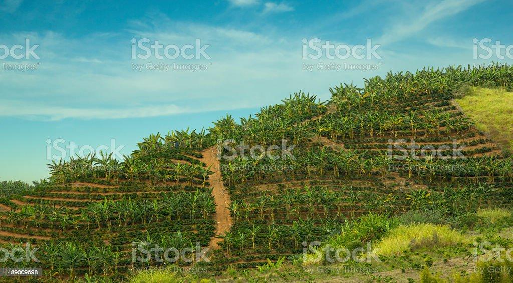 Banana and Coffee Plantation stock photo