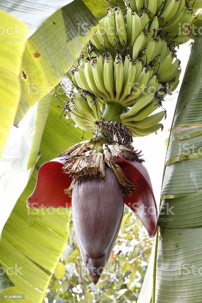 Banana bloom on trees stock photo