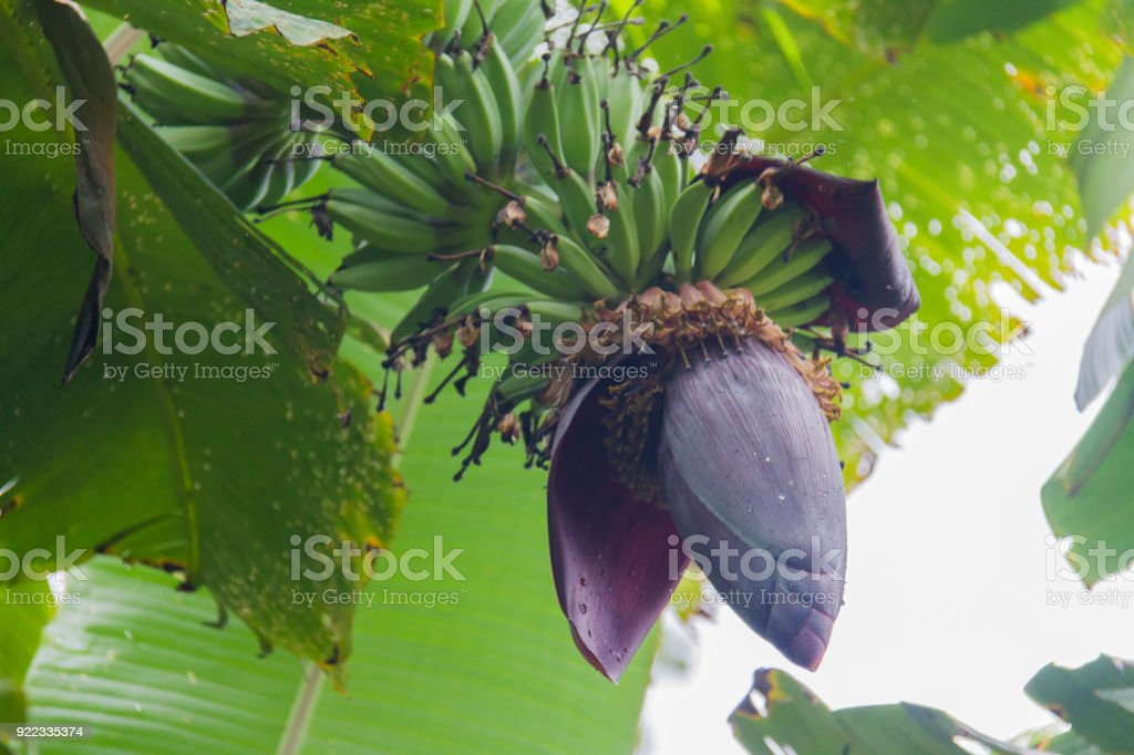 Banana Blossom Or Banana Flower Stock Photo More Pictures Of