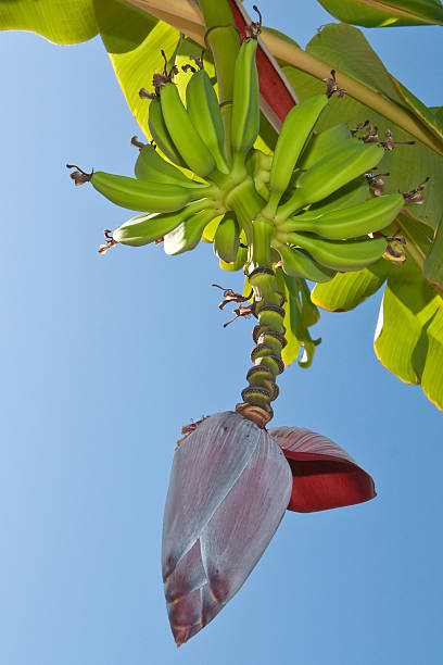 Banana bunch hanging from the tree stock photo