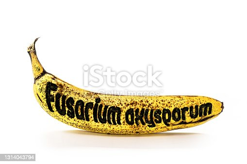 banana contaminated by Raça Tropical 4 from panama mal, text in english written Fusarium oxysporum
