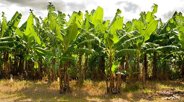 Banana Farm in North Queensland, Australia stock photo