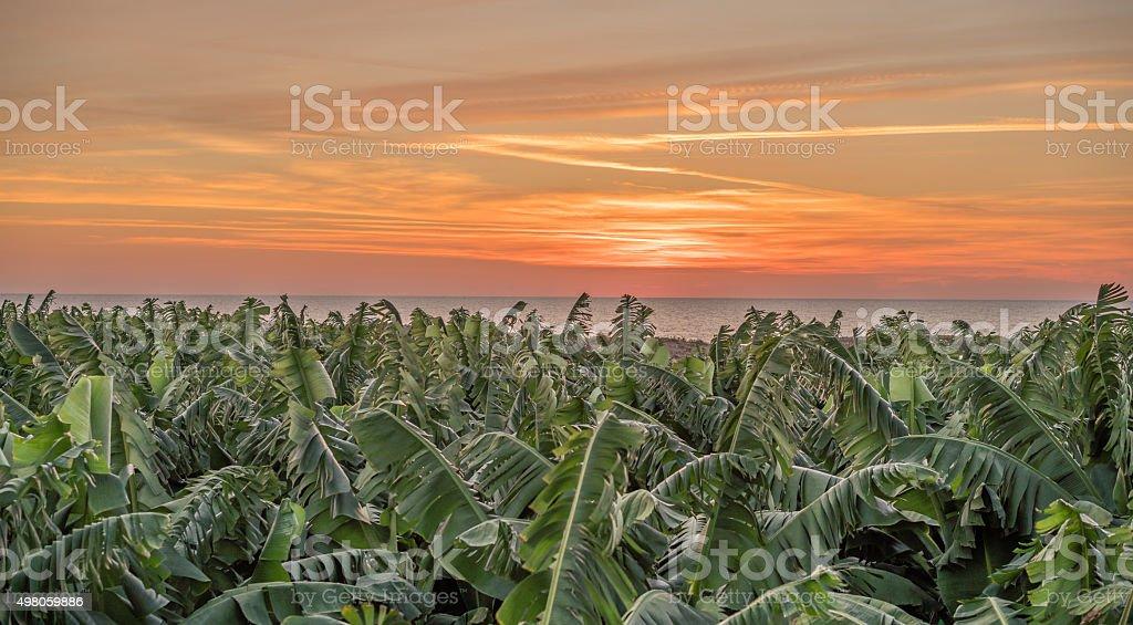 banana farm sky sunset stock photo