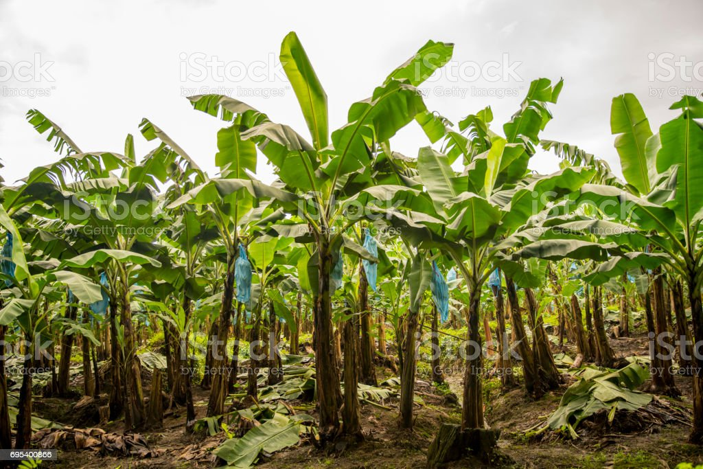 Banana farming at Costa Rica stock photo