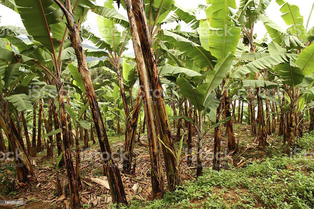 Banana Field stock photo