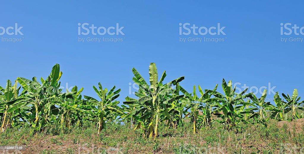 banana field with blue sky,Thailand stock photo