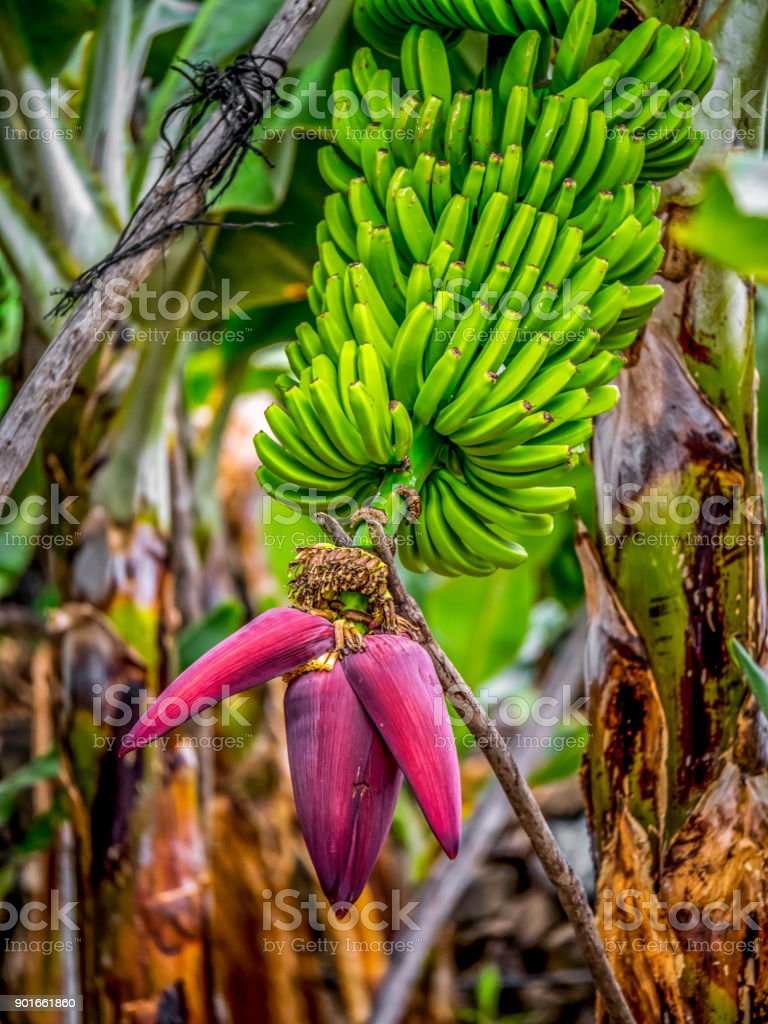 Banana Flower and Fruit in La Palma, Canary Islands stock photo
