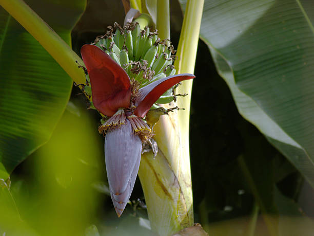 banana flower and Olive-backed sunbird stock photo