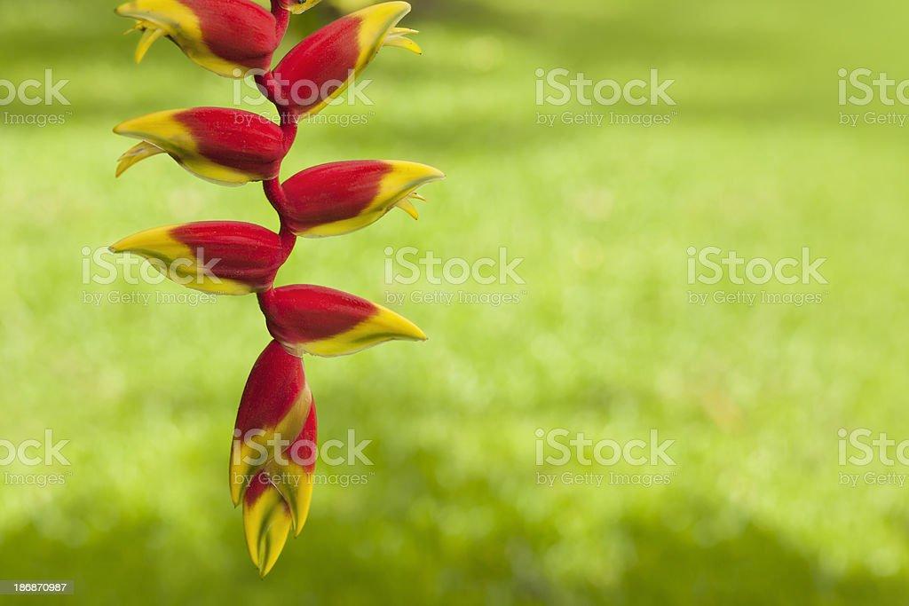 Banana flower on green background stock photo