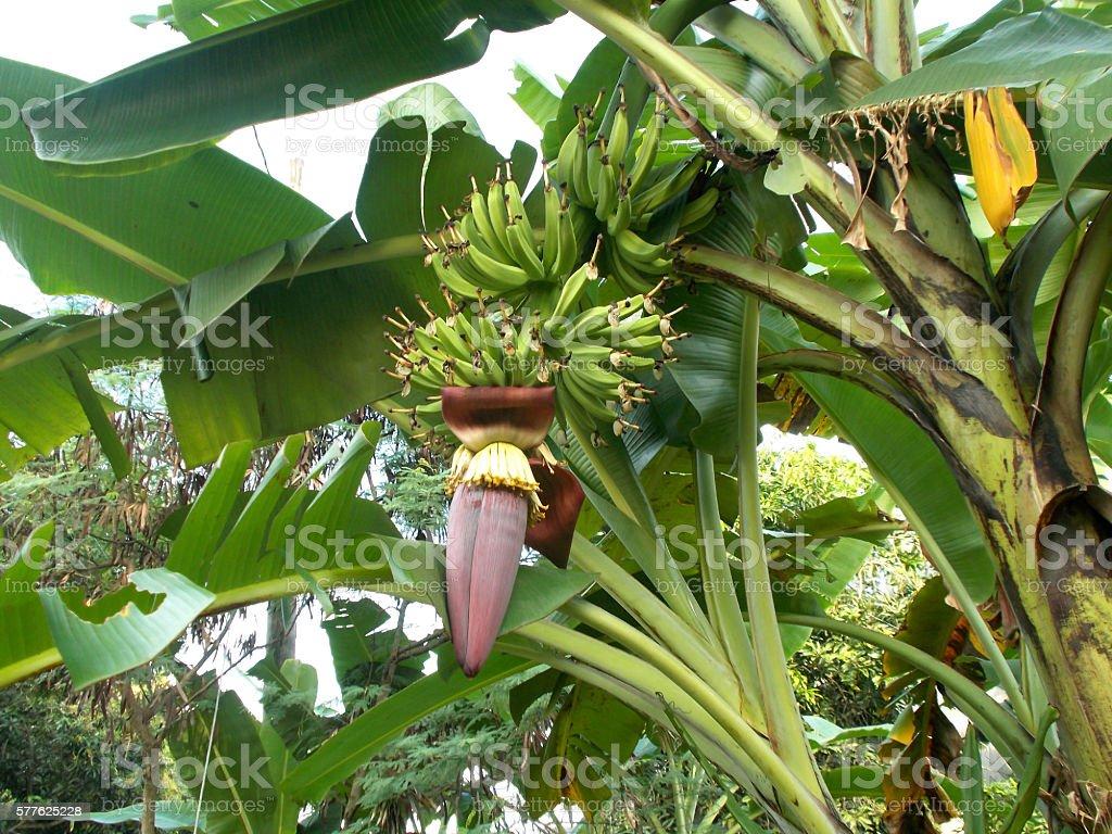 Banana flower on the tree stock photo