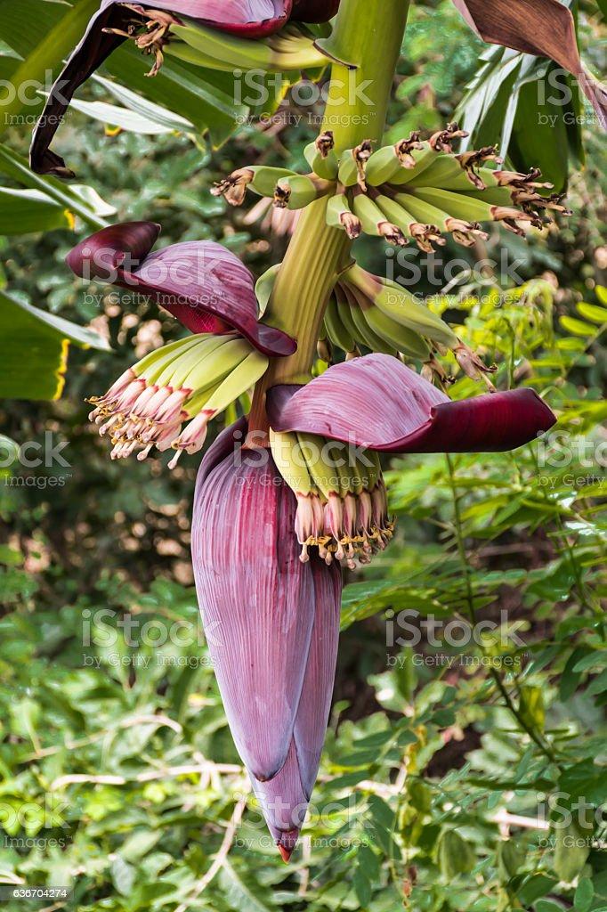 Banana flower. stock photo