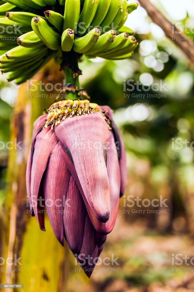 Banana Flower stock photo