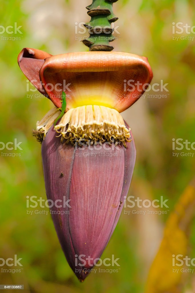 Banana flower with a green gecko, phelsuma lineata, on it stock photo