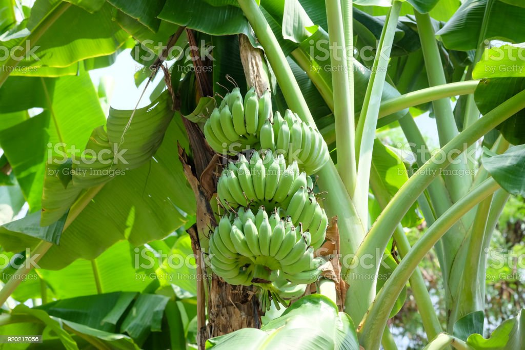 Banana fruit on the tree in the garden stock photo