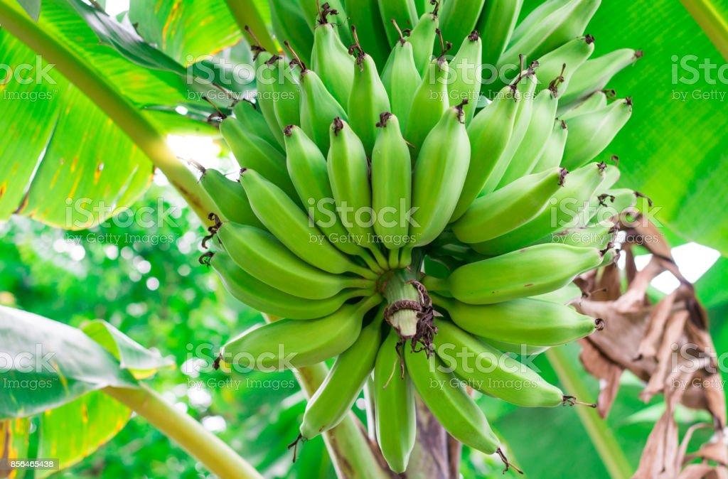 frutos de banano en el árbol de plátano - foto de stock