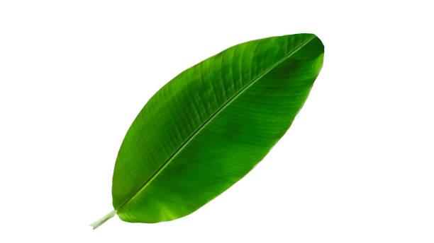 banana green leaf isolated on white background