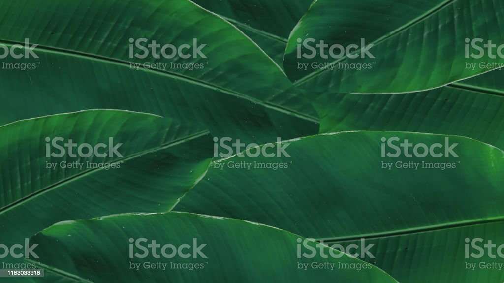 banana green leaf isolated on white background banana green leaf isolated on white background Banana Stock Photo