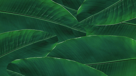 Banana Green Leaf Isolated On White Background Stock Photo - Download Image Now