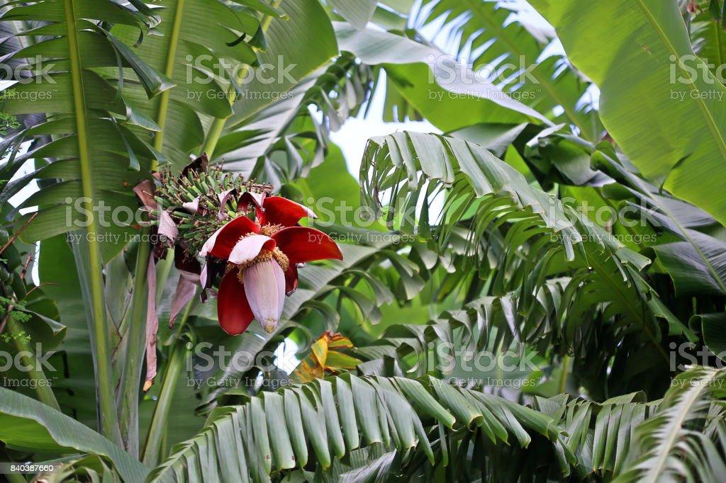 Banana (Genus Musa) Inflorescence on tree stock photo