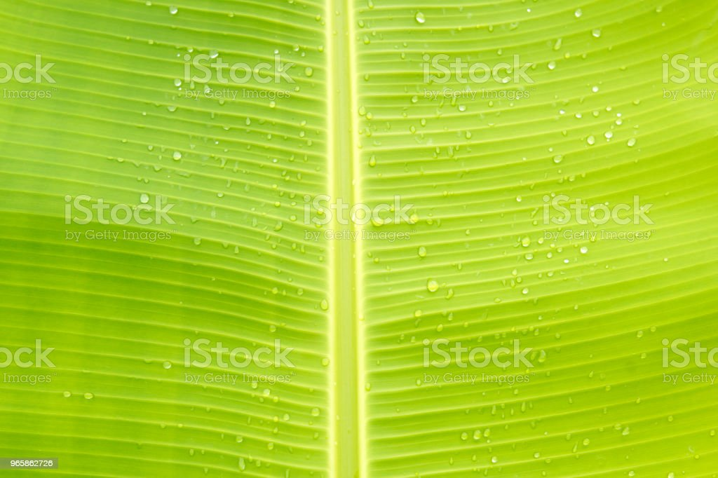 Banana leaf and dew drops for Background. - Royalty-free Backgrounds Stock Photo