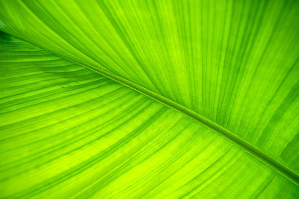 Banana leaf. Background and texture. stock photo