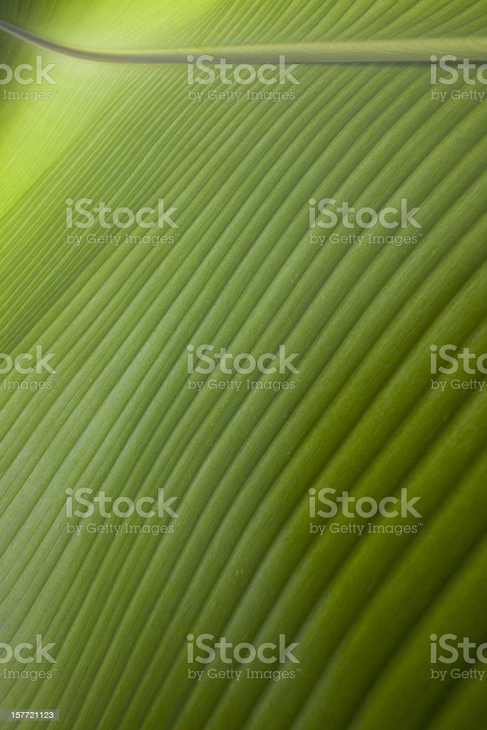 Banana leaf background. stock photo