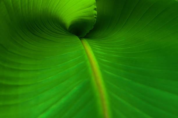 Banana Leaf Nahaufnahme – Foto