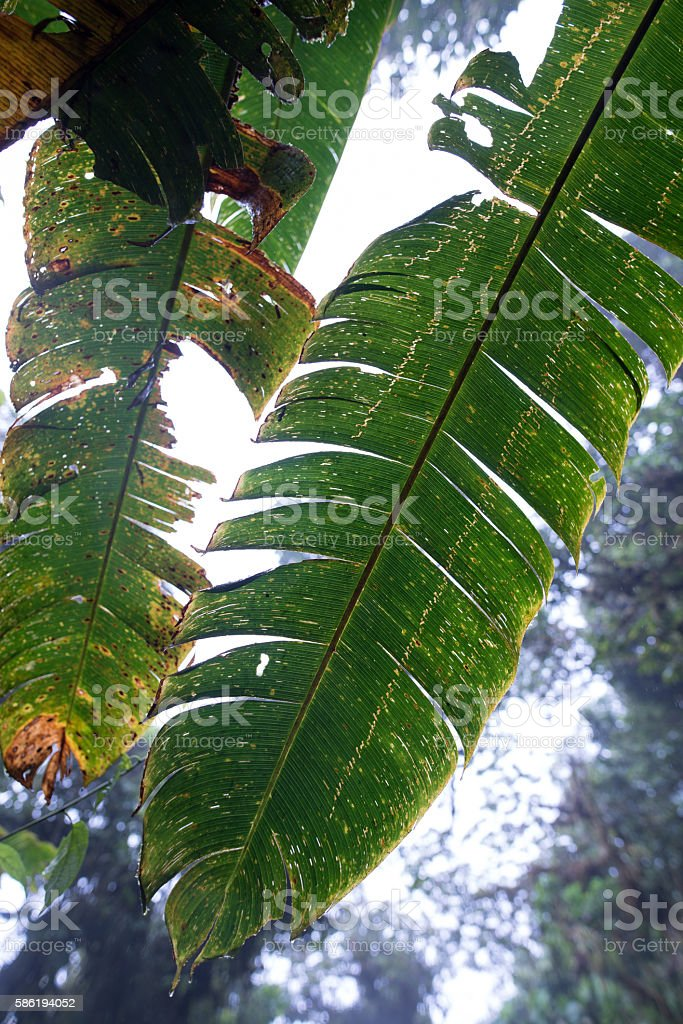 Banana leaf close-up in the Monteverde Cloud Forest stock photo