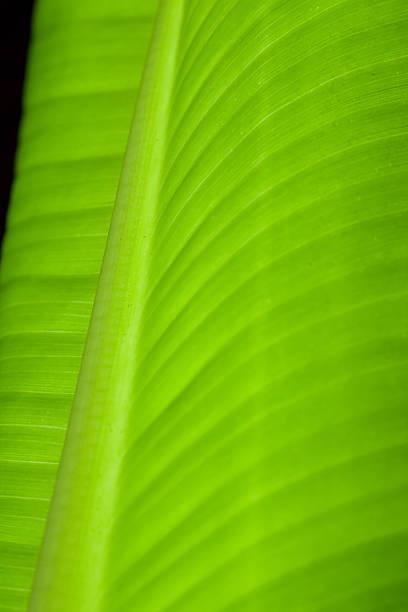 Hoja de Banana en primer plano - foto de stock