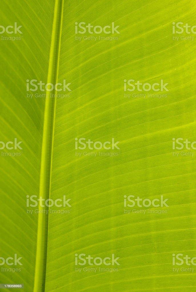 Banana leaf closeup royalty-free stock photo