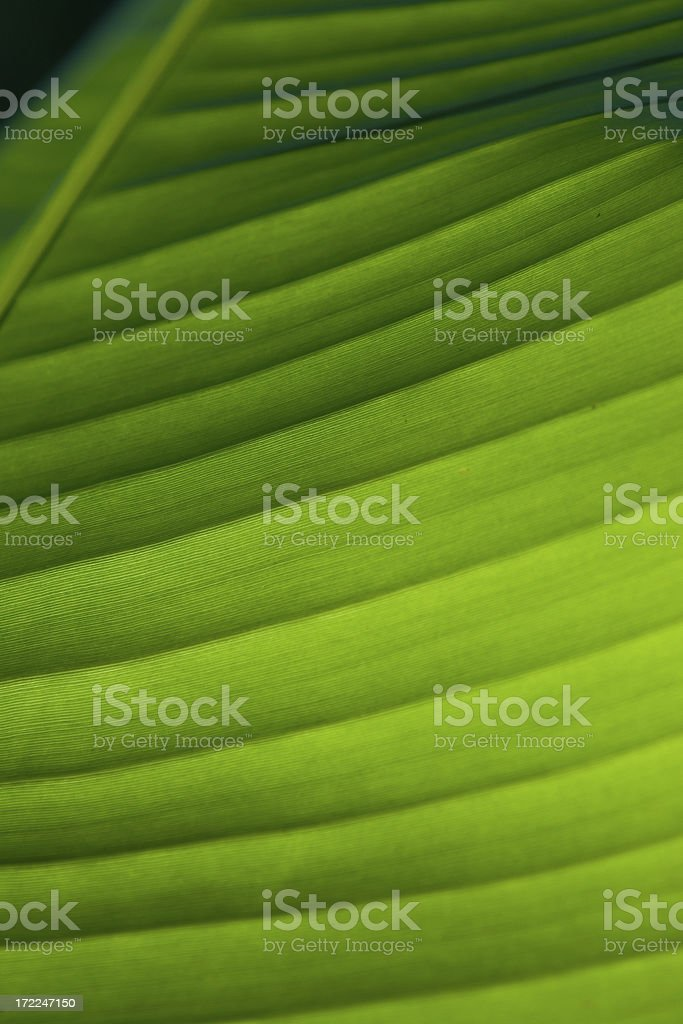 Banana Leaf Detail royalty-free stock photo