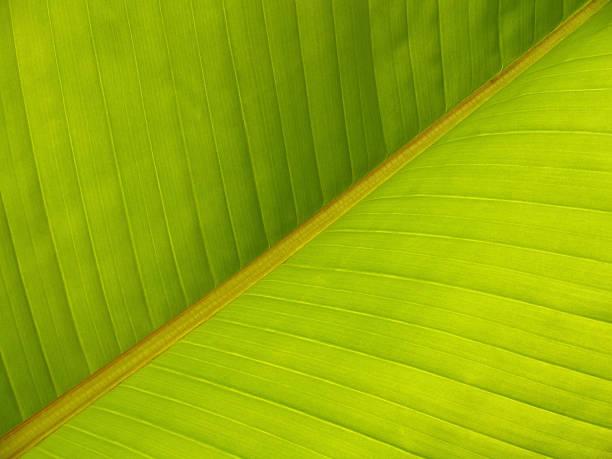 Banana Leaf Diagonal Pattern Close-up stock photo