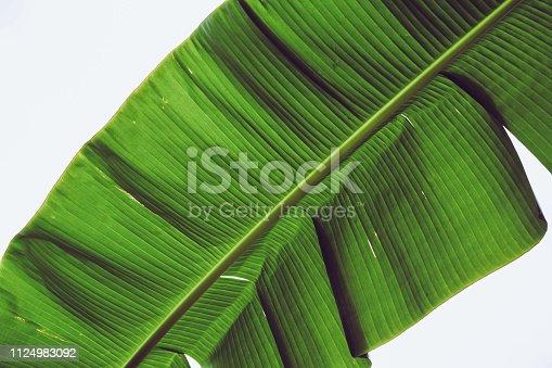 istock Banana Leaf for Wallpaper or Background 1124983092