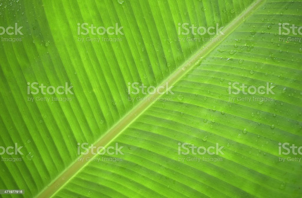 banana leaf green after the rain and dew stock photo