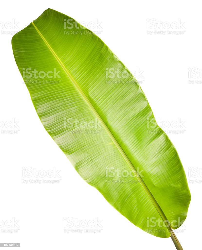 Banana leaf isolated on white. stock photo