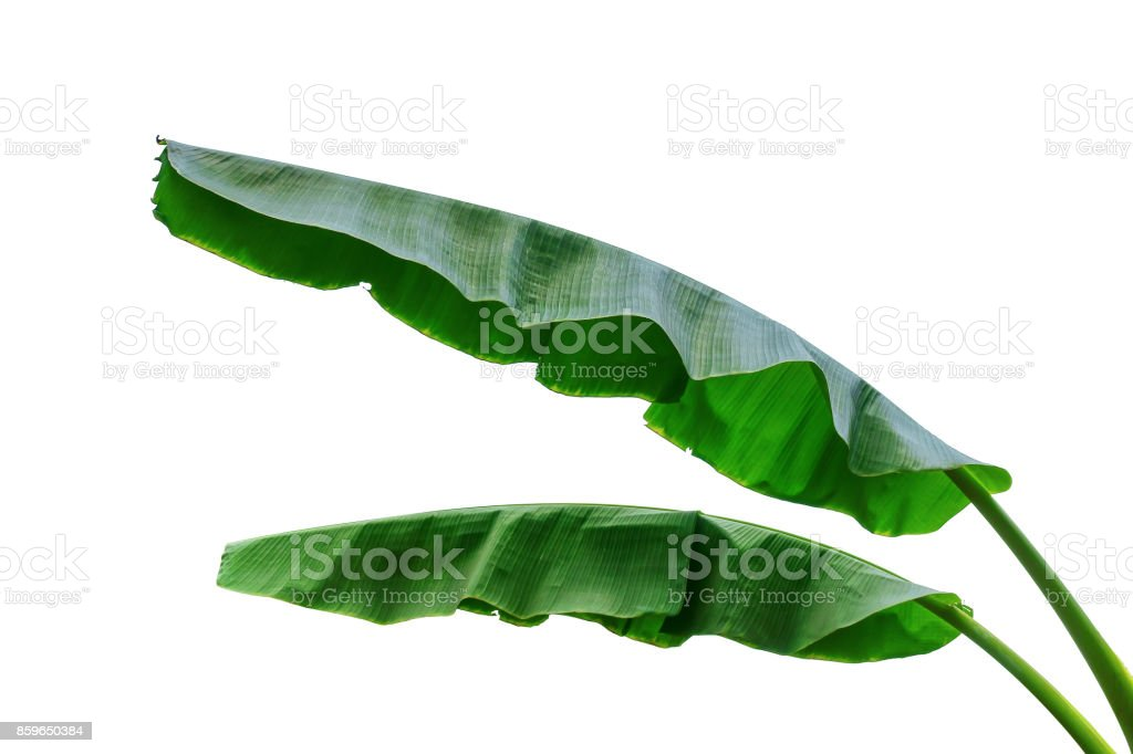 banana leaf isolated on white stock photo