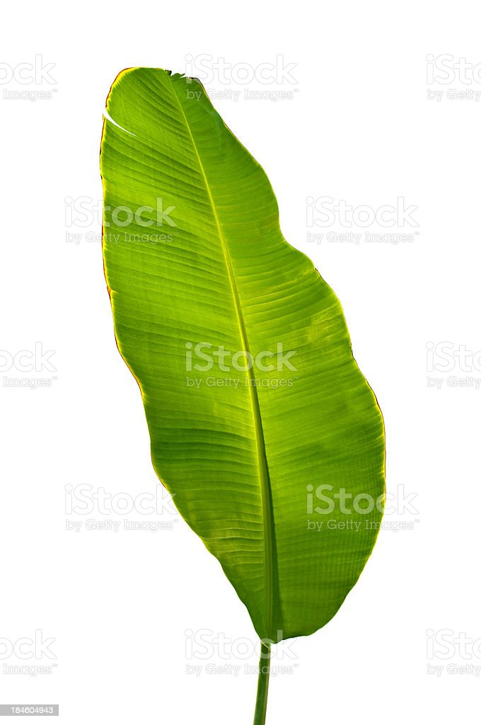 Palm tree leaf outline