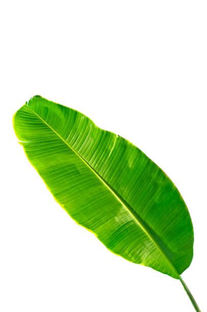 Banana leaf stock photo