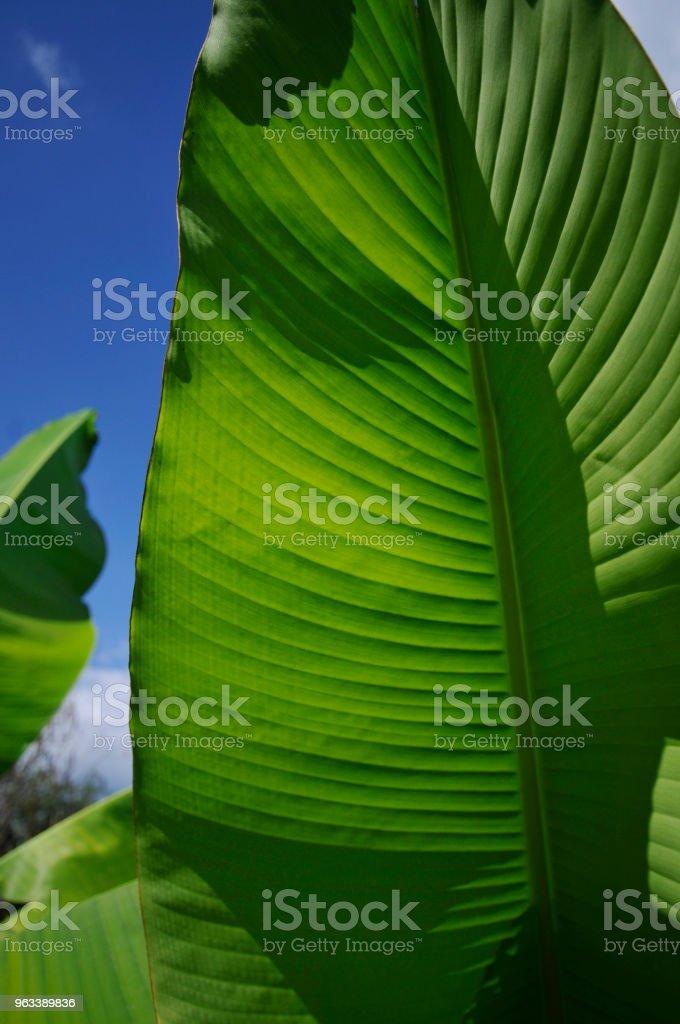 Liść bananowca - Zbiór zdjęć royalty-free (Bez ludzi)