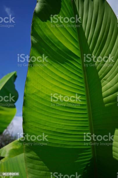 Liść Bananowca - zdjęcia stockowe i więcej obrazów Bez ludzi