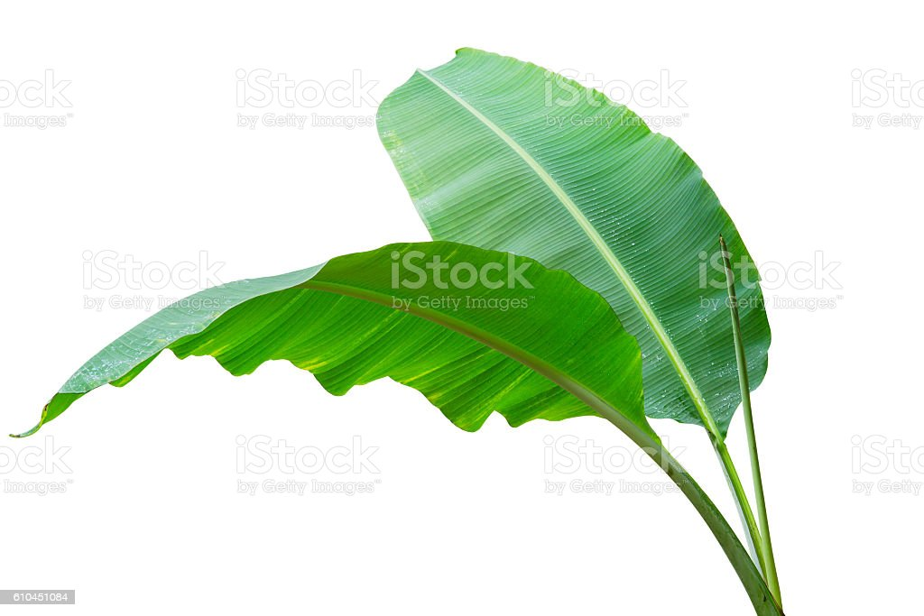 Banana leaf Wet isolated on white background. stock photo