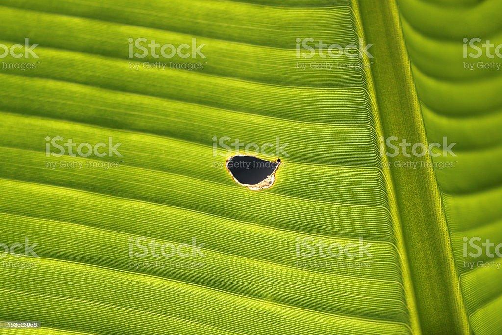 banana leaf with hole royalty-free stock photo