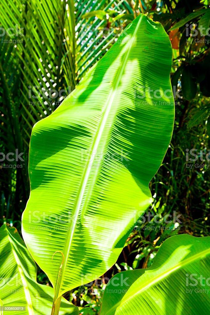Banana leafs royalty-free stock photo