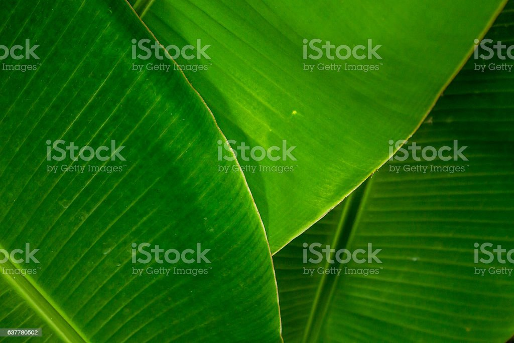 Banana leafs stock photo