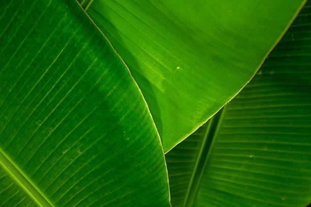 Banana leafs stock photo