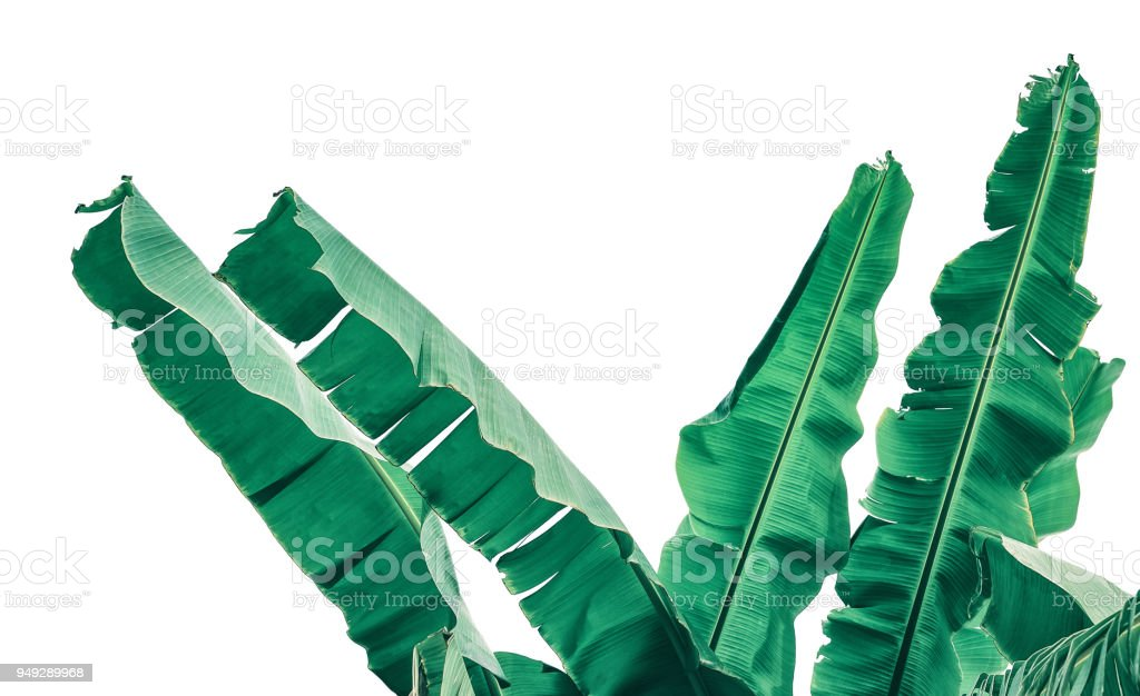 banana leaves isolated on white stock photo