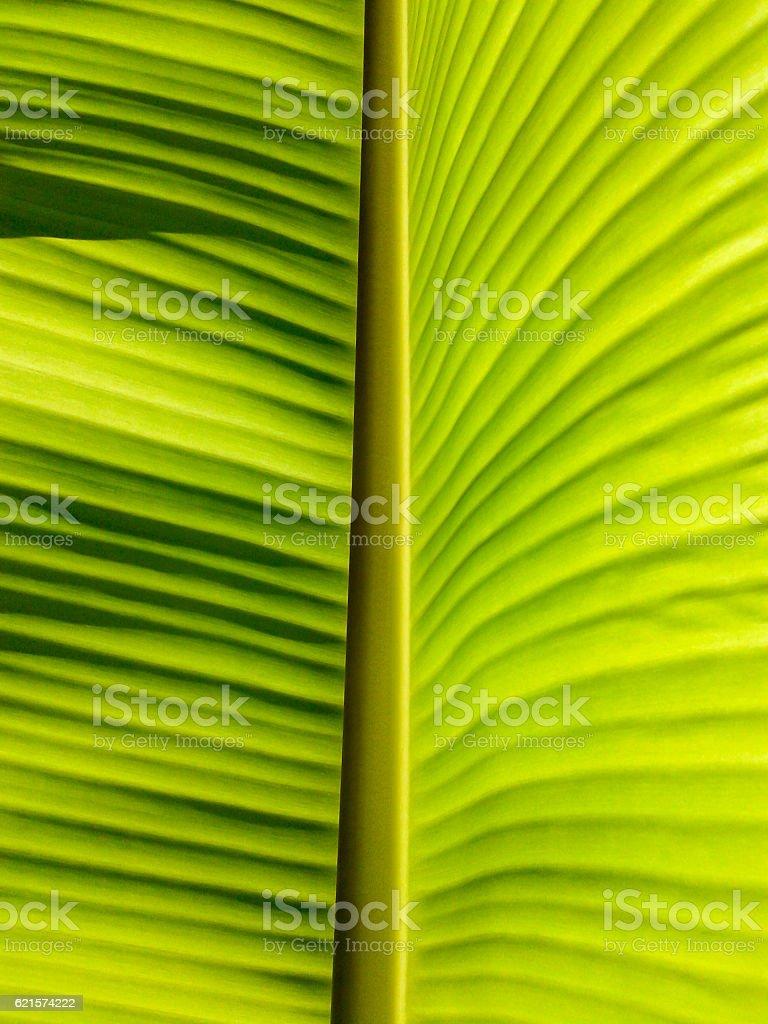 Banana leaves of back light fresh green leaf photo libre de droits